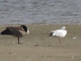 Ross's Goose, ML38610661