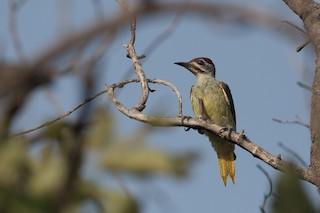 - Fine-spotted Woodpecker