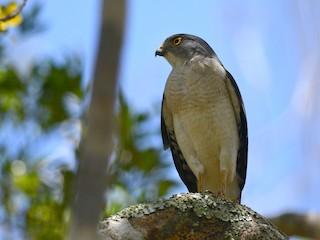 - Frances's Sparrowhawk