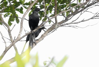 - Long-tailed Starling