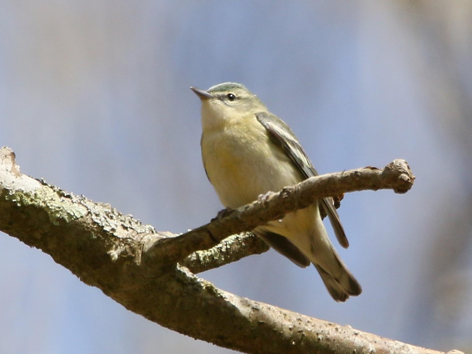 Cerulean Warbler - Russ Smiley