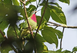- Claret-breasted Fruit-Dove