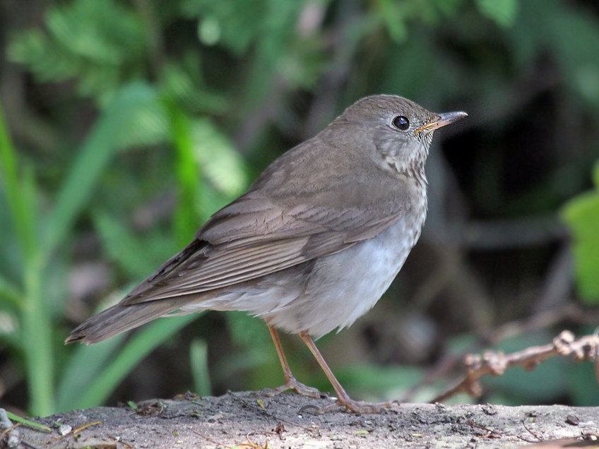 Gray-cheeked Thrush - Dick Dionne