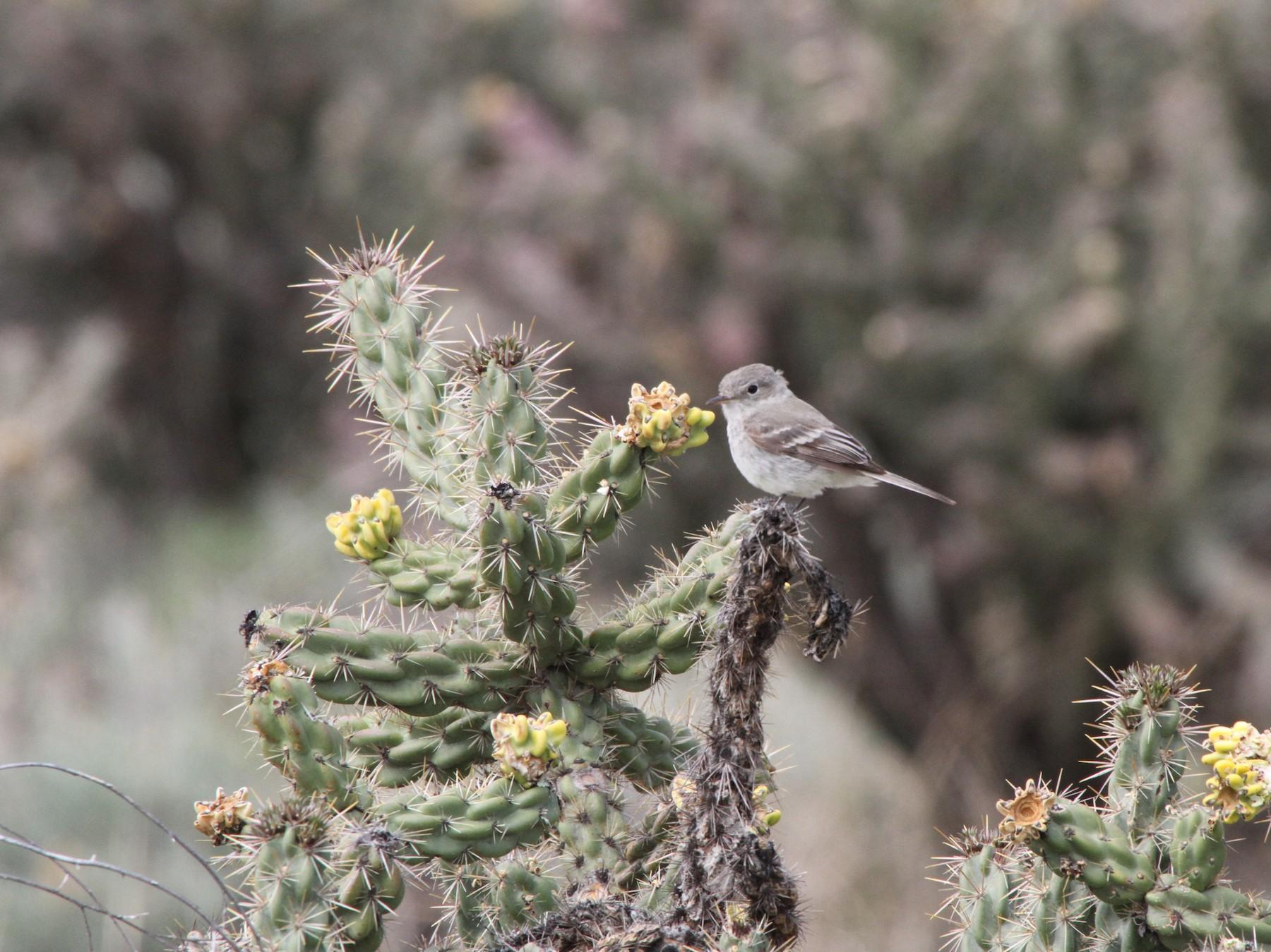Gray Flycatcher - Caleb Hawley