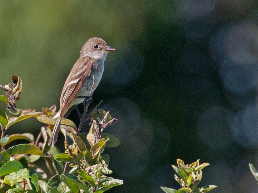 Willow Flycatcher - Matthew Skalla