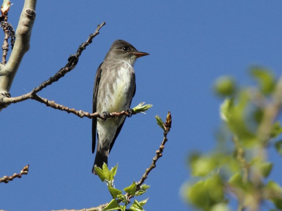 Olive-sided Flycatcher - Mike V.A. Burrell