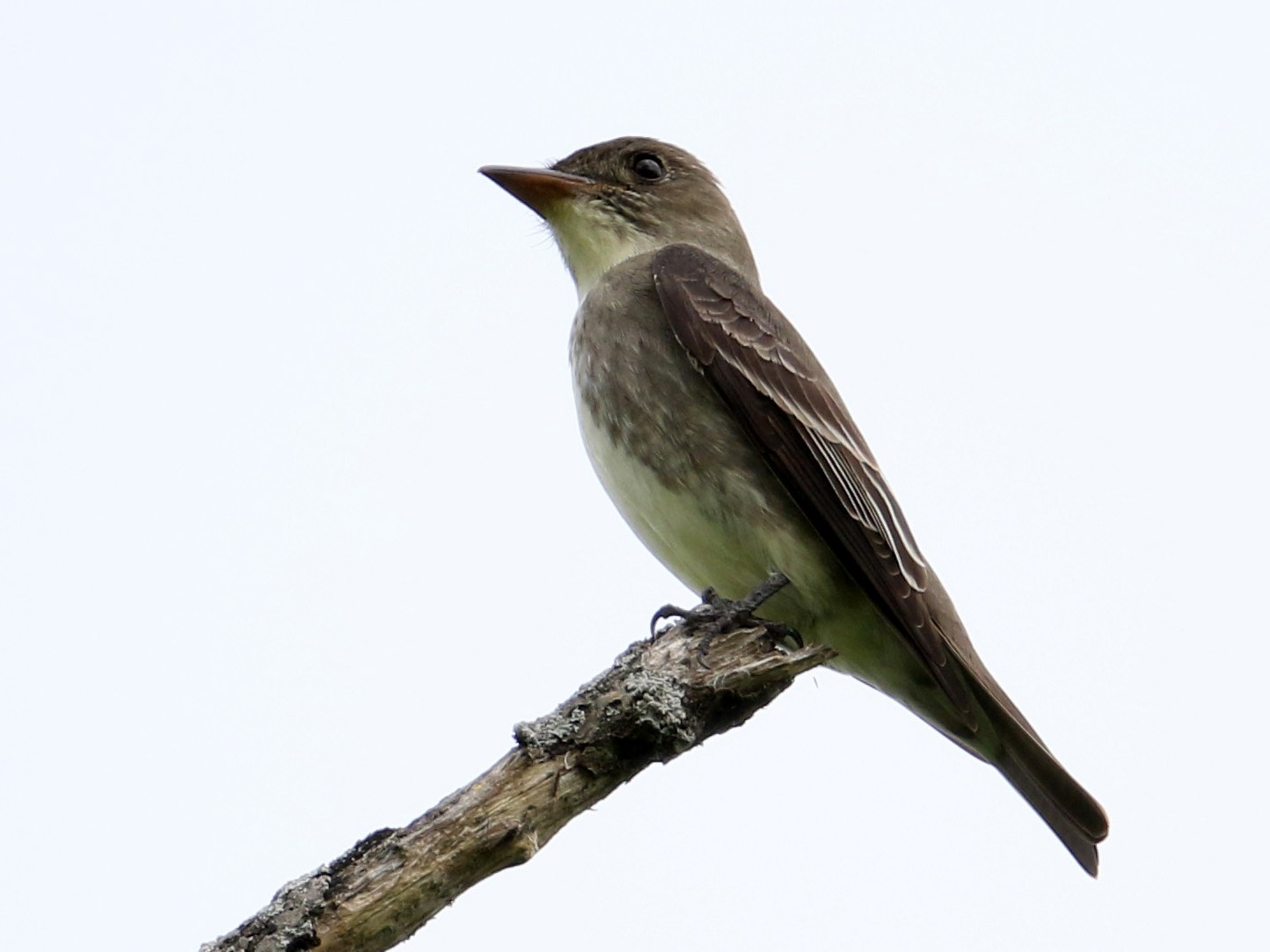 Olive-sided Flycatcher - Jay McGowan