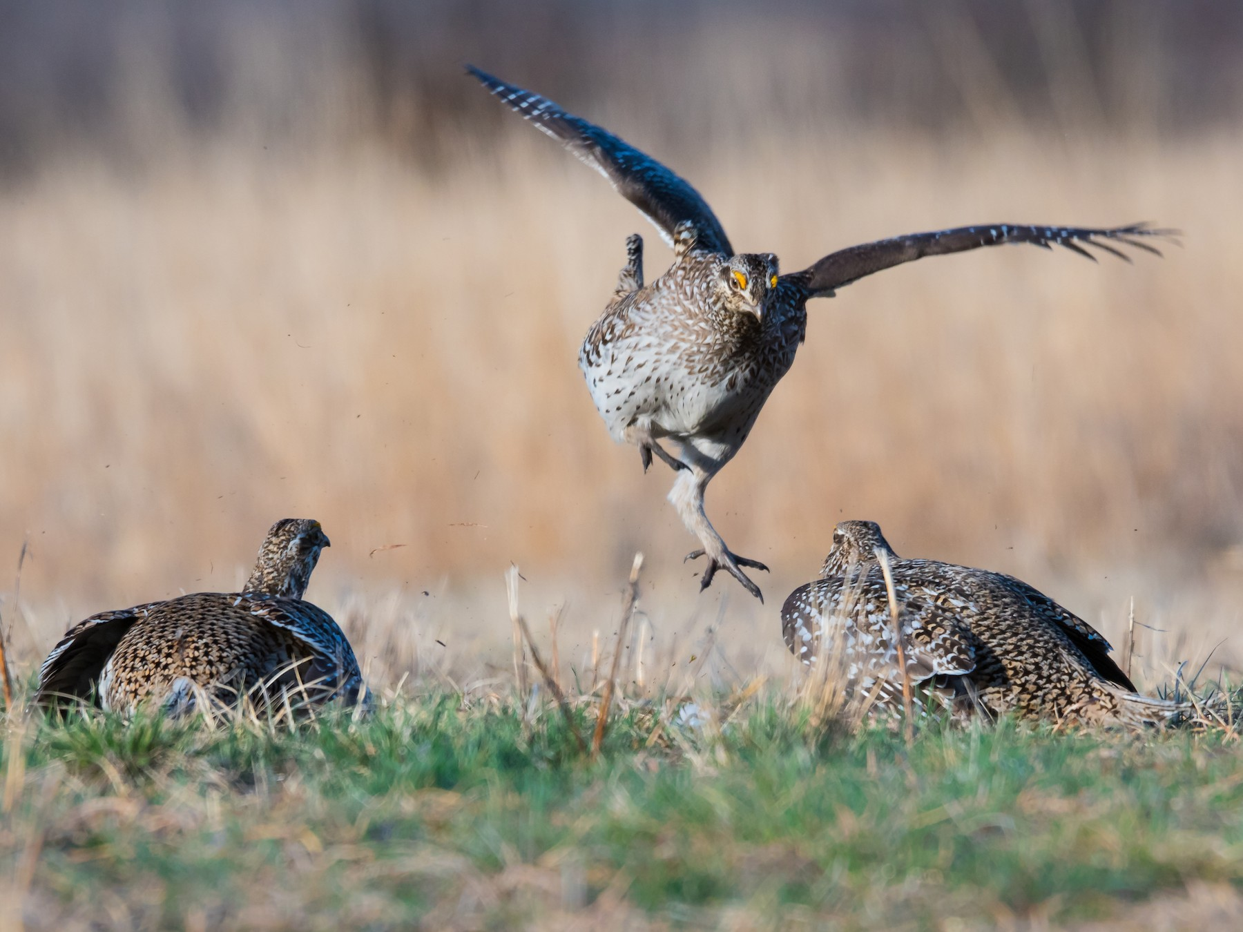Sharp-tailed Grouse - Joanne Bartkus