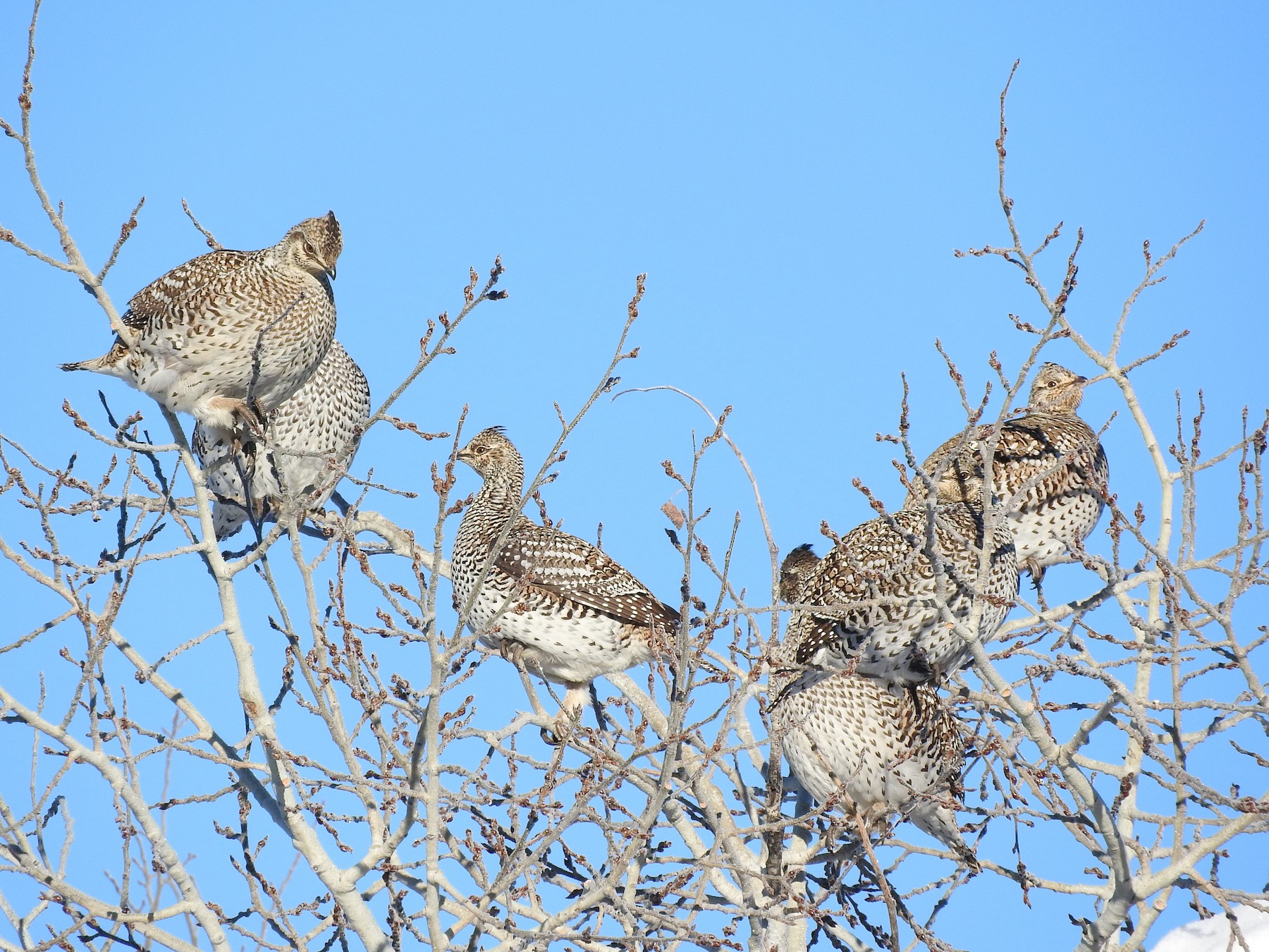 Sharp-tailed Grouse - Tresa Moulton
