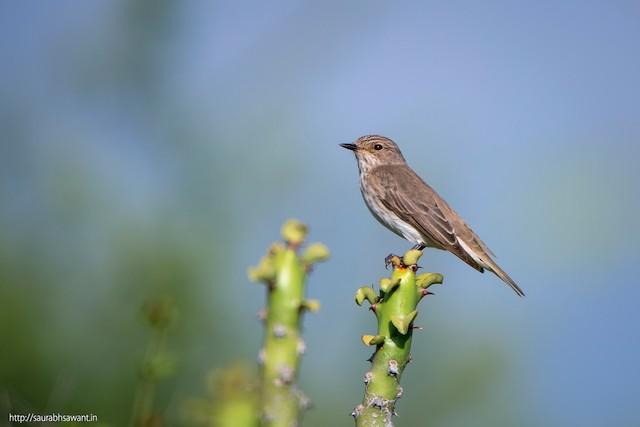 Spotted Flycatcher