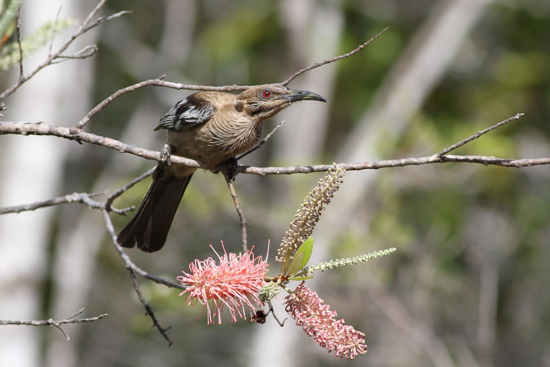 New Caledonian Friarbird - Chris Wiley