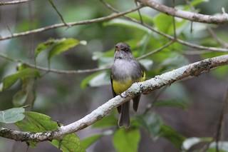 - Yellow-bellied Robin