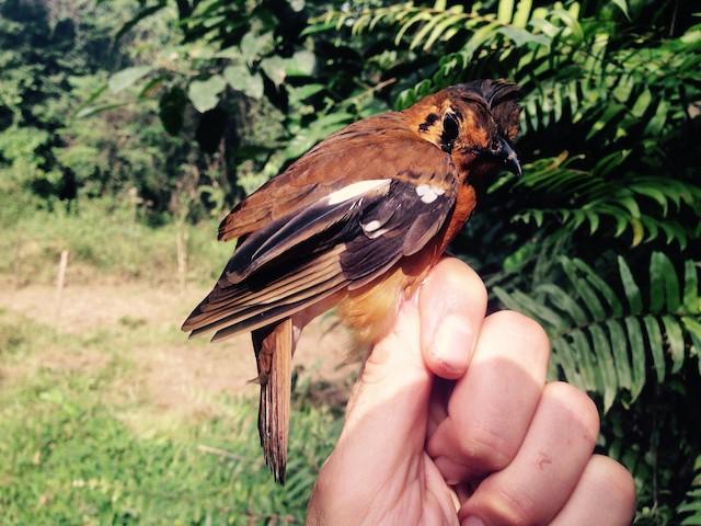 Black-eared Ground-Thrush (Cameroon)