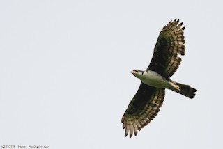 - Cassin's Hawk-Eagle