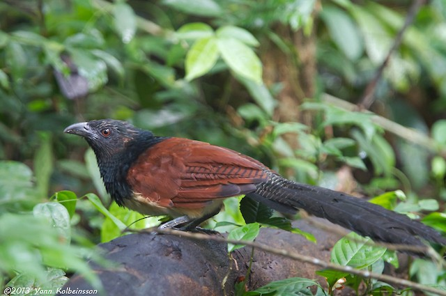 Black-throated Coucal