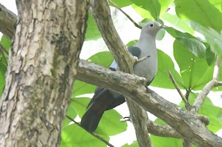 - Island Imperial-Pigeon