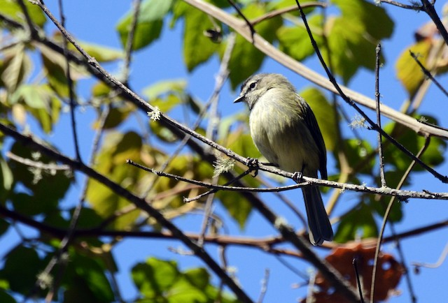 Spectacled Tyrannulet