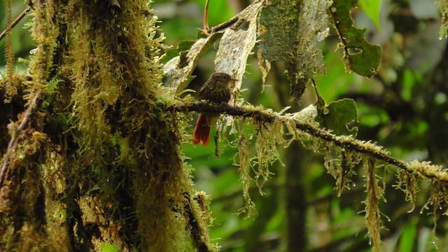 Rusty-winged Barbtail