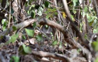 Red-legged Tinamou, ML38832971