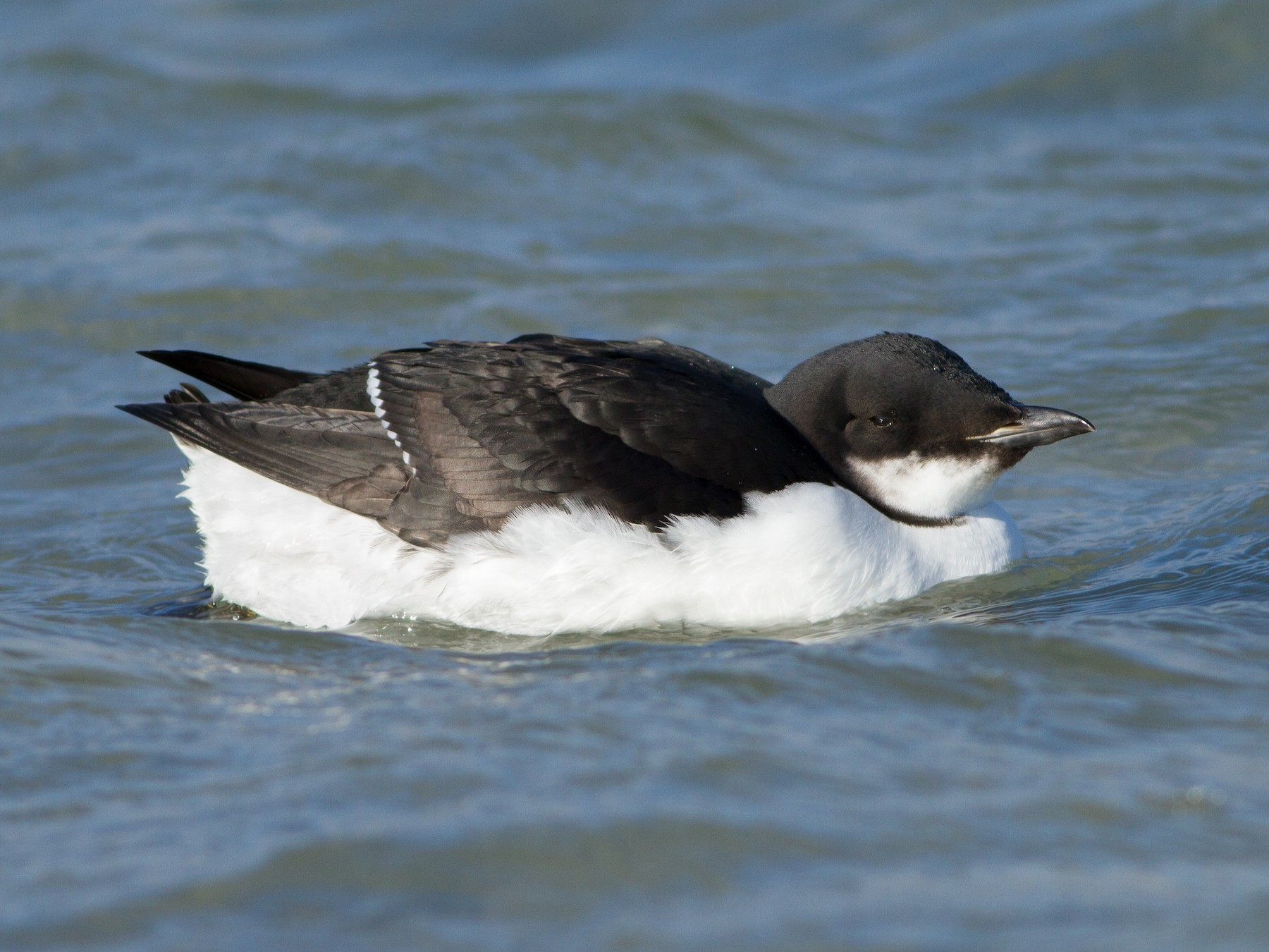Thick-billed Murre - Lucas Bobay