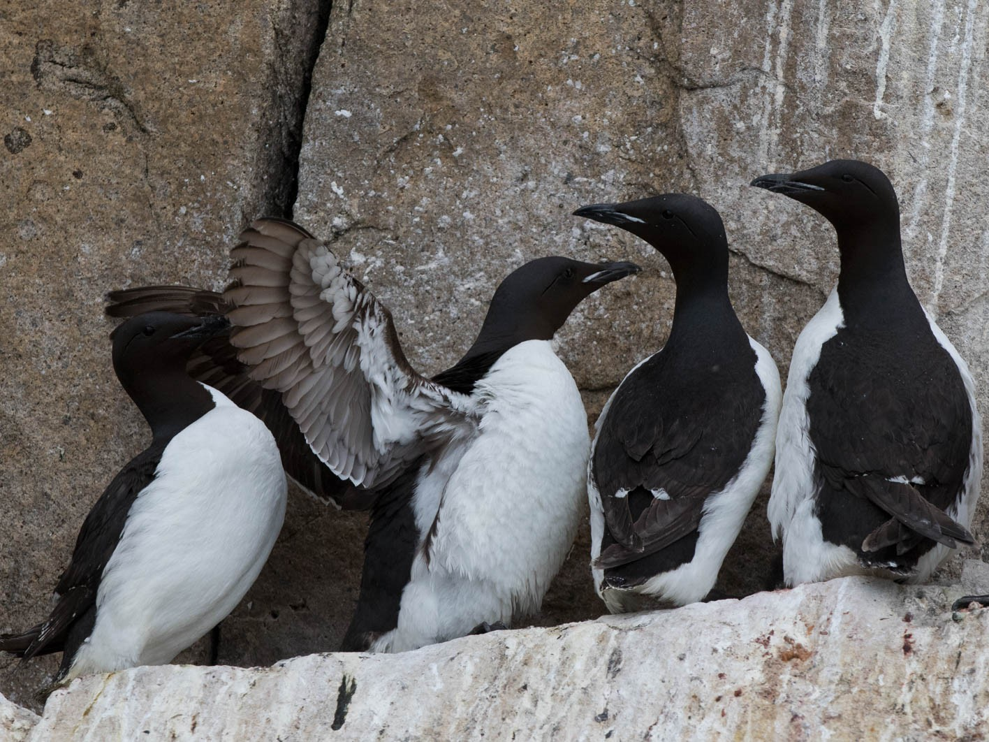 Thick-billed Murre - Sonja Ross