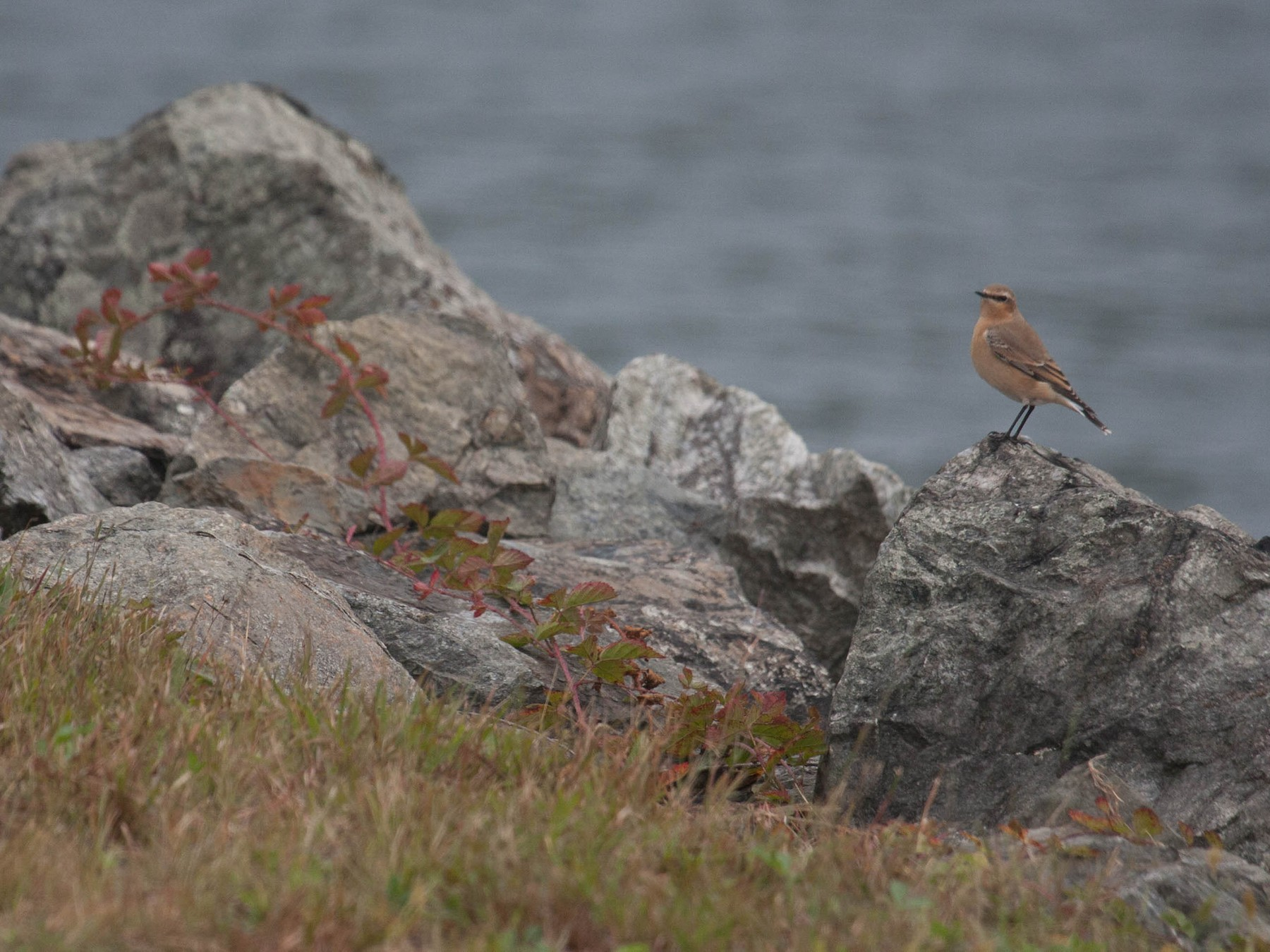 Northern Wheatear - Marshall Iliff