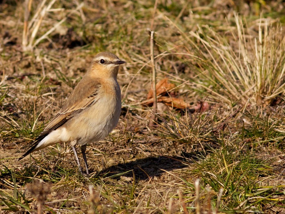 Northern Wheatear - Derek Stoner