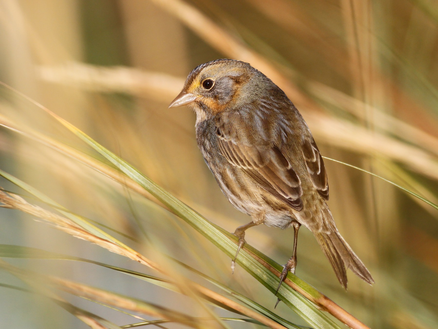 Nelson's Sparrow - Davey Walters