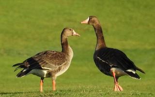 Greater White-fronted Goose, ML38862171