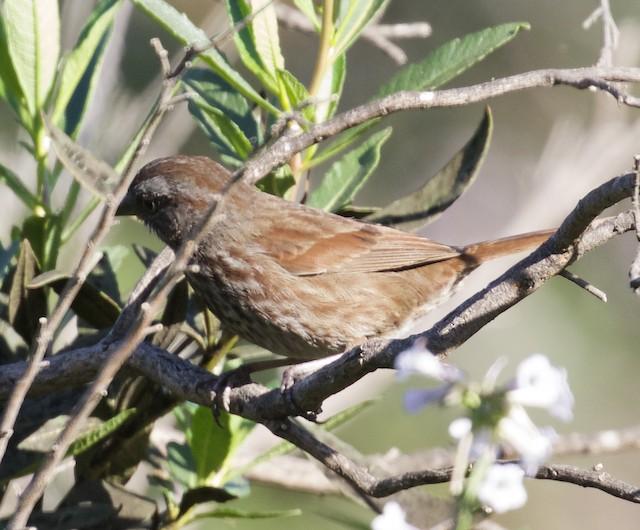 Song Sparrow (rufina Group)