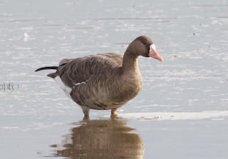 Greater White-fronted Goose, ML38875161