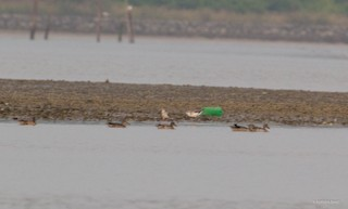 Green-winged Teal, ML38893831