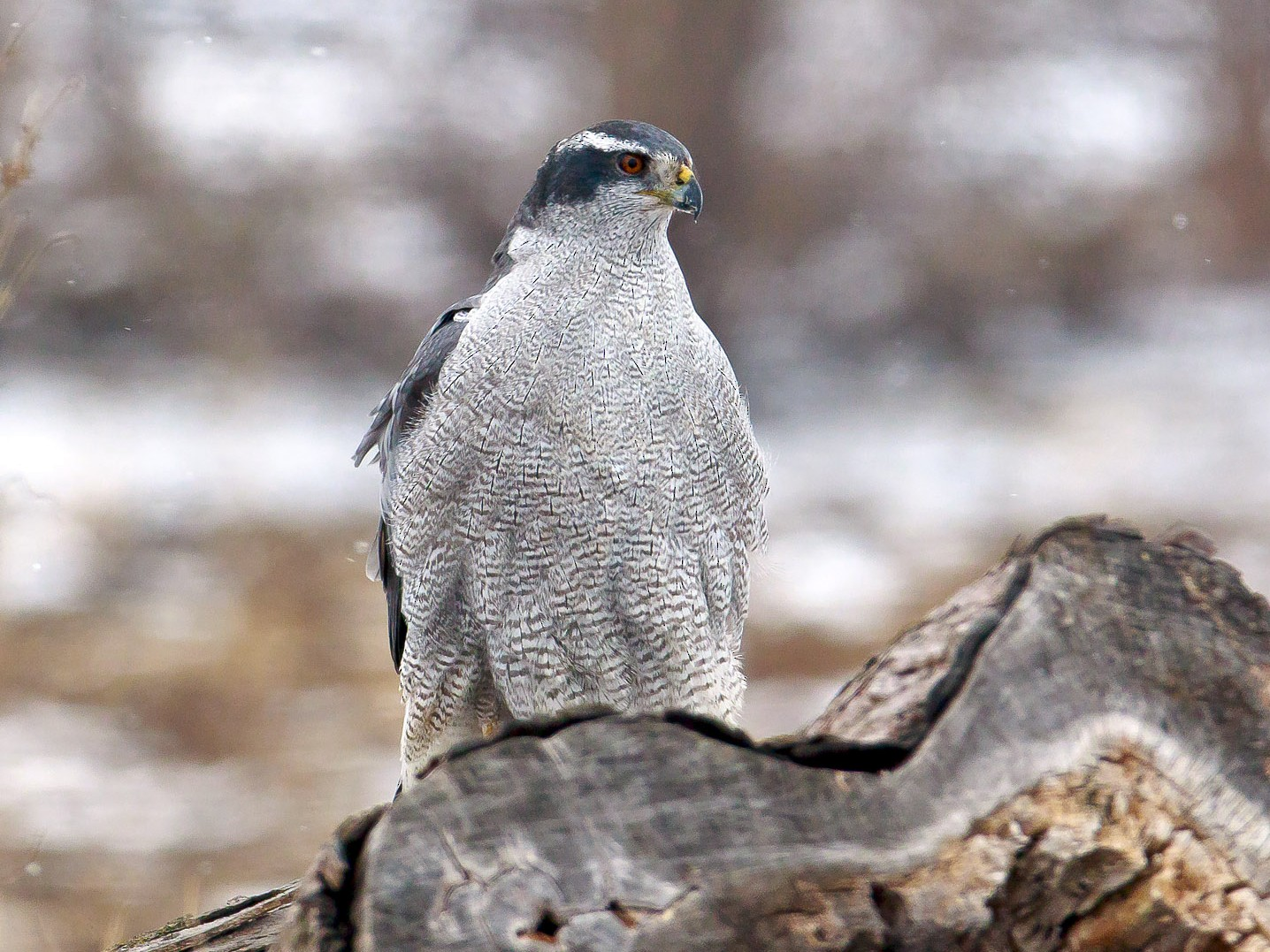 Northern Goshawk - Paul Roisen