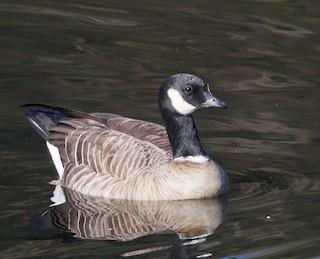 Cackling Goose (Aleutian), ML38950811