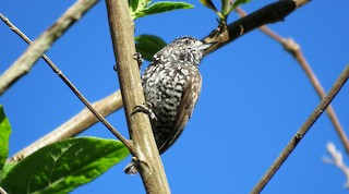 - Speckle-chested Piculet