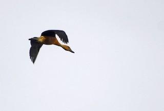 Lesser Whistling-Duck, ML39144011
