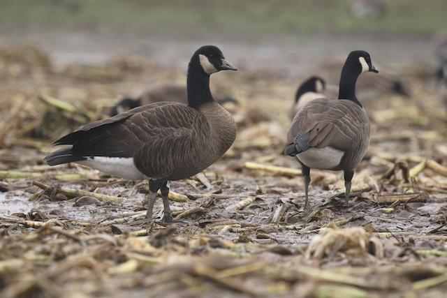 Canada Goose (occidentalis/fulva)