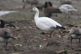 Snow Goose, ML39194901