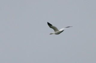 Snow Goose, ML39308251
