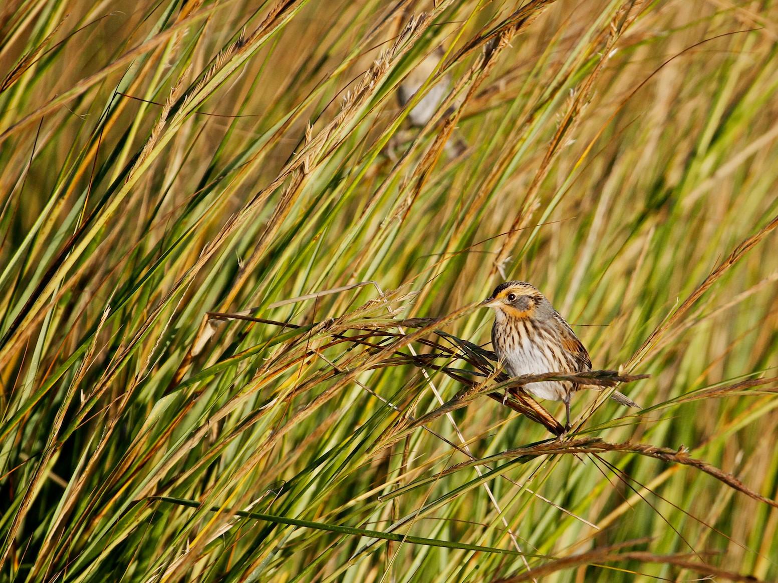 Saltmarsh Sparrow - Ernie Miller