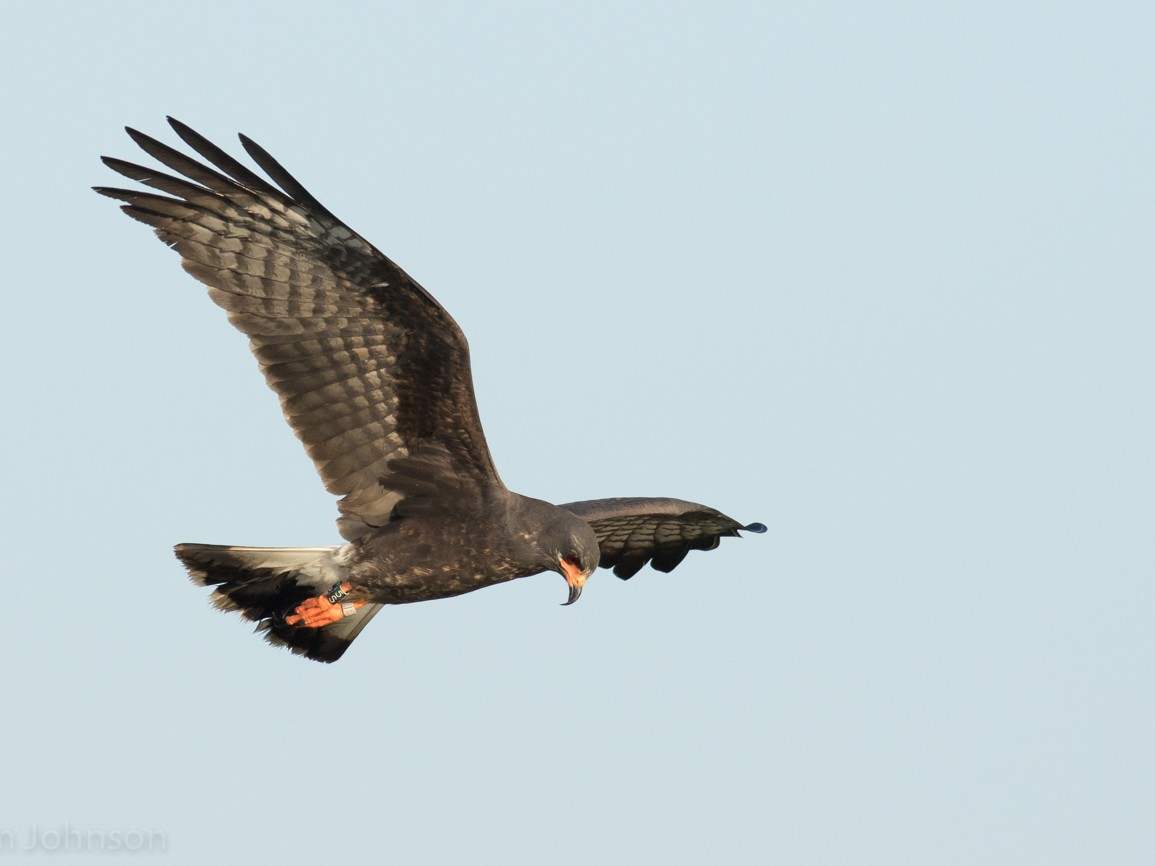 Snail Kite - Tom Johnson