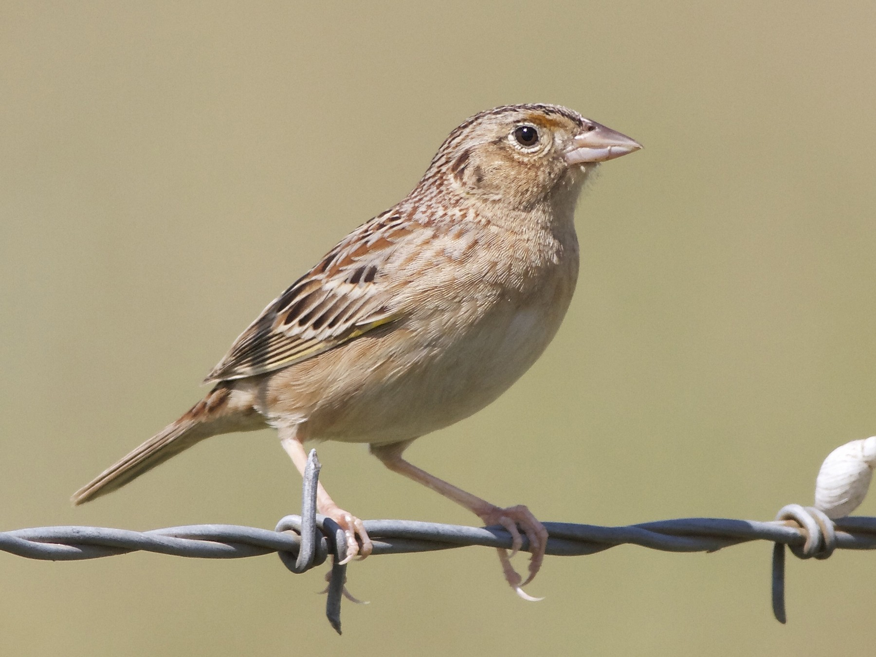 Grasshopper Sparrow - Marc North