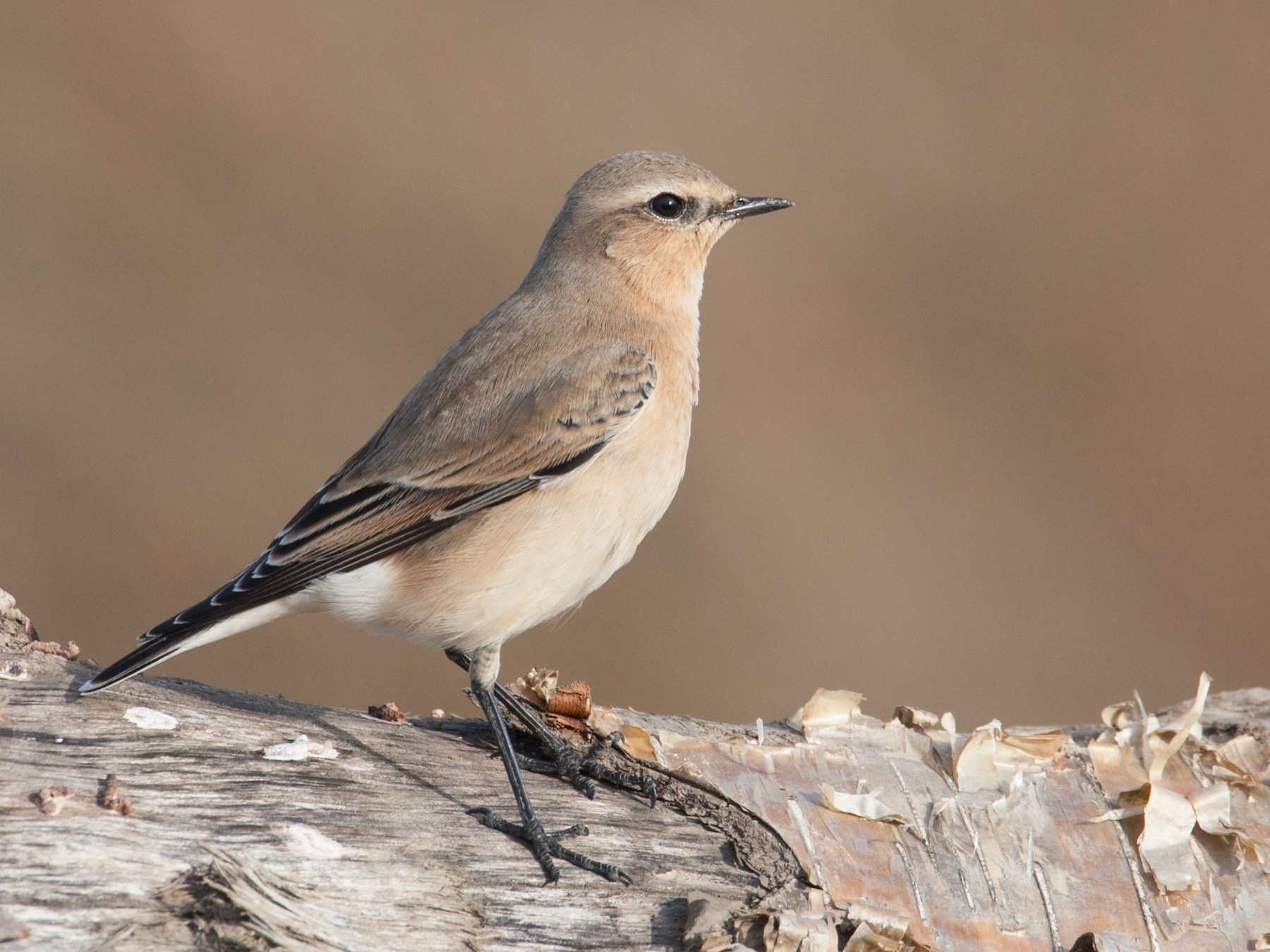 Northern Wheatear - Chris Wood