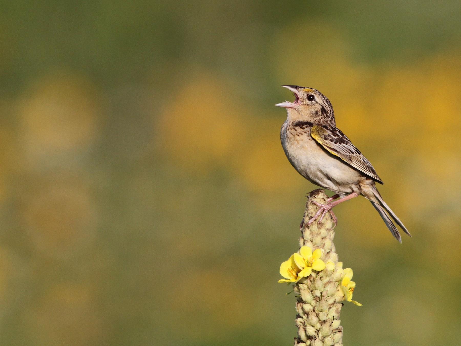 Grasshopper Sparrow - Ian Davies