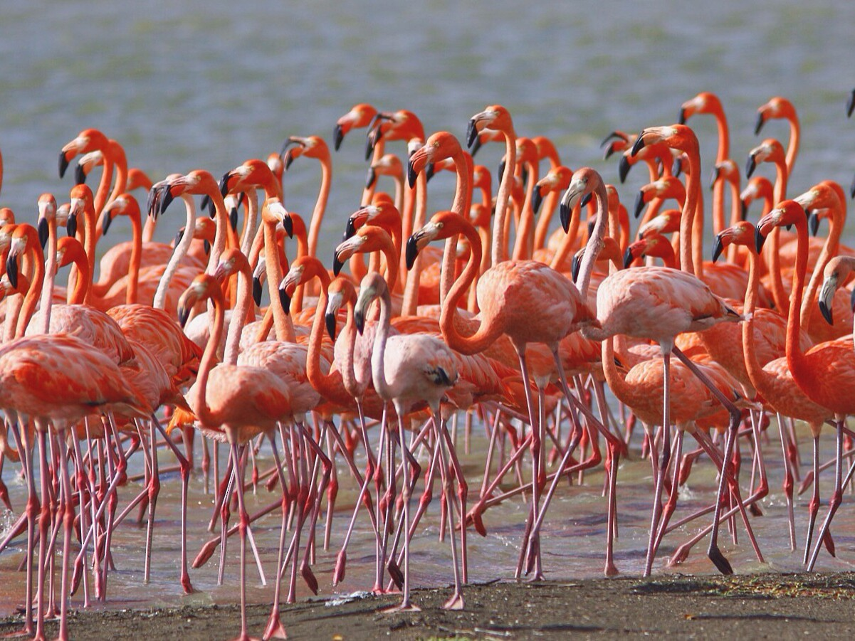 American Flamingo - Anonymous eBirder