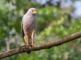 - Roadside Hawk