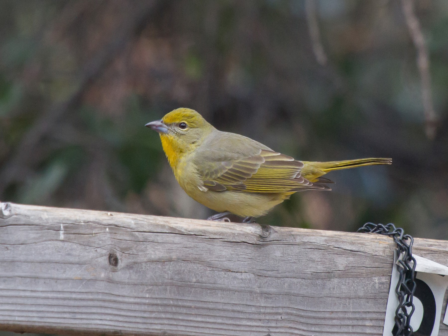 Hepatic Tanager - Griffin Richards