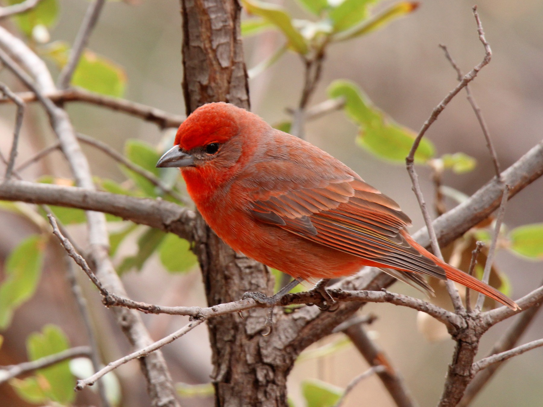 Hepatic Tanager - Tony Battiste