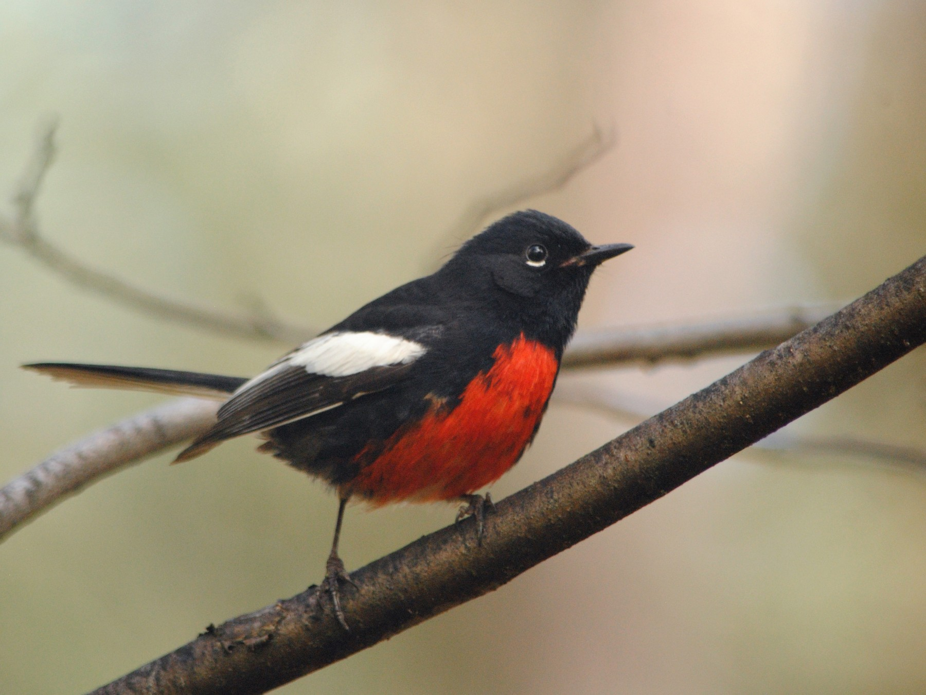 Painted Redstart - Caleb Strand