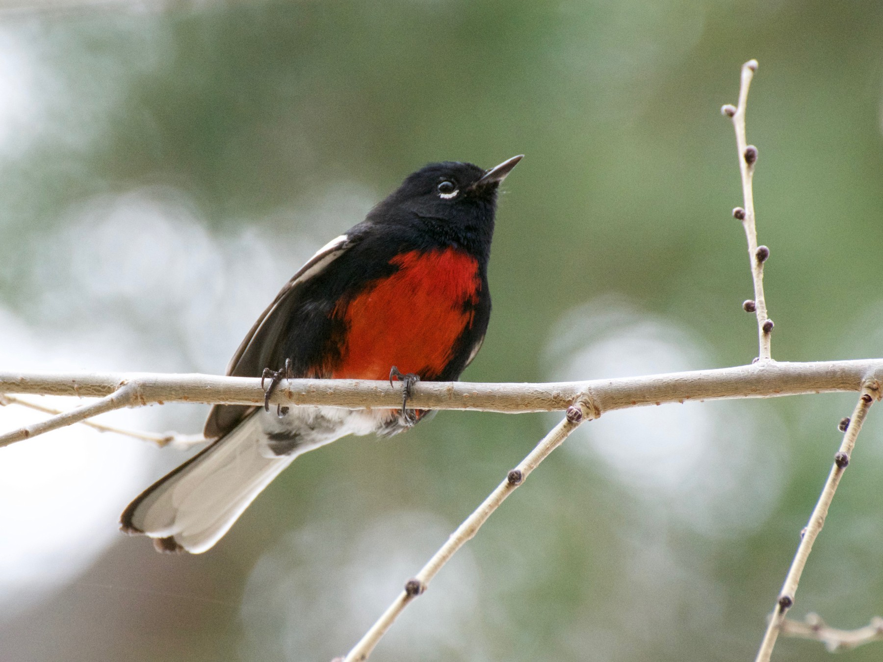 Painted Redstart - John S Powell